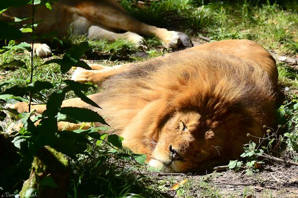 zoo Cerza roi lion