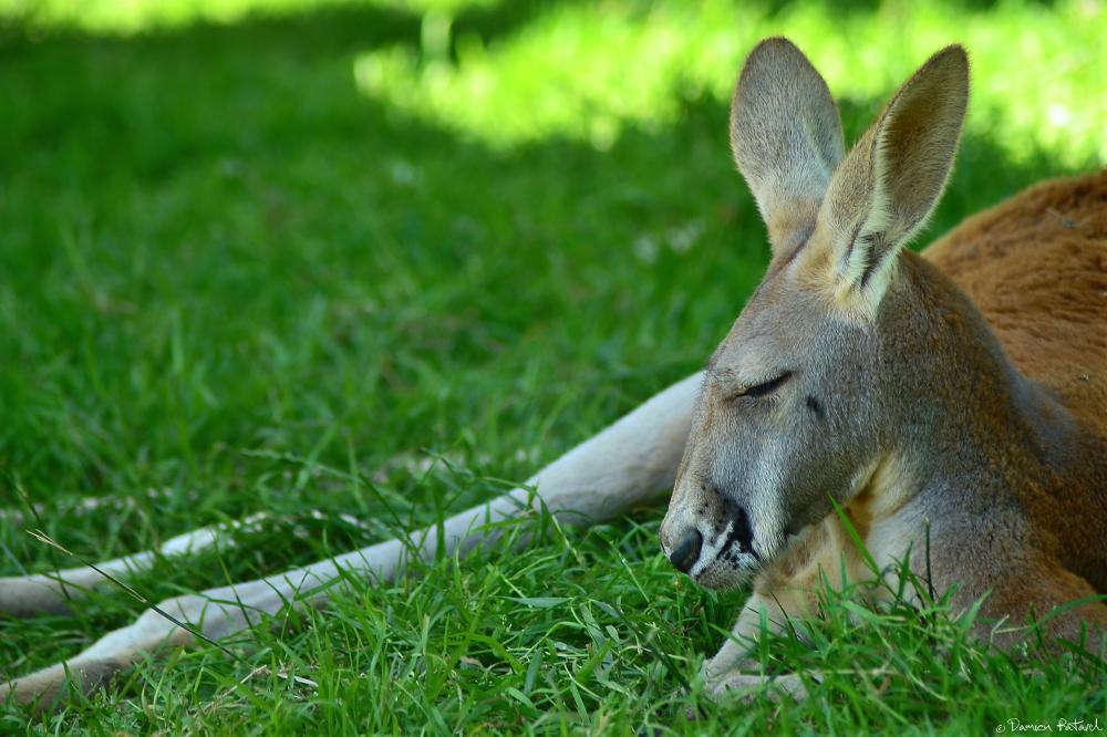 zoo Cerza kangourou Australie wallabies