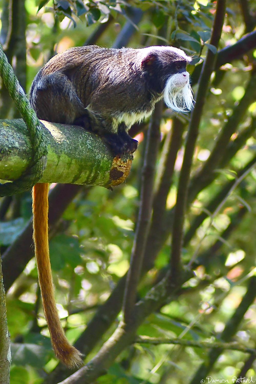 zoo Cerza tamarin empereur