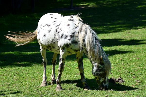 zoo cerza cheval apaloosa