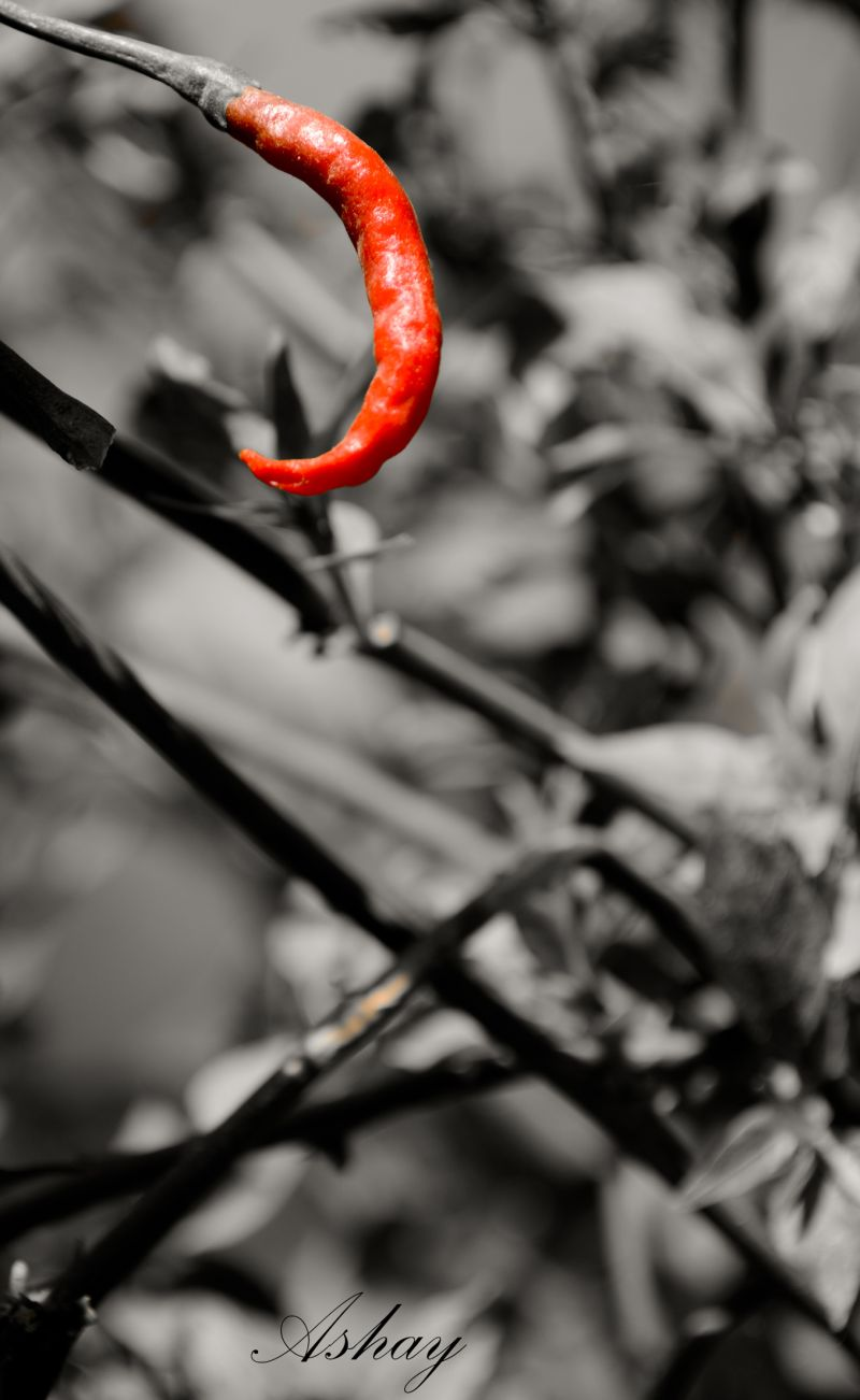 the red chilly
