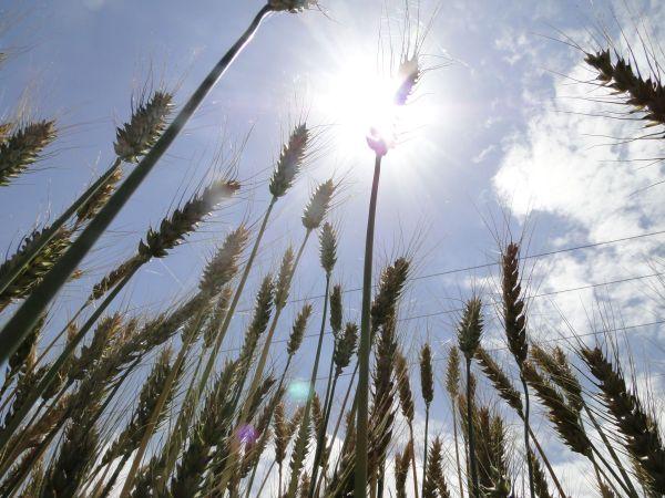 wheat glitter!
