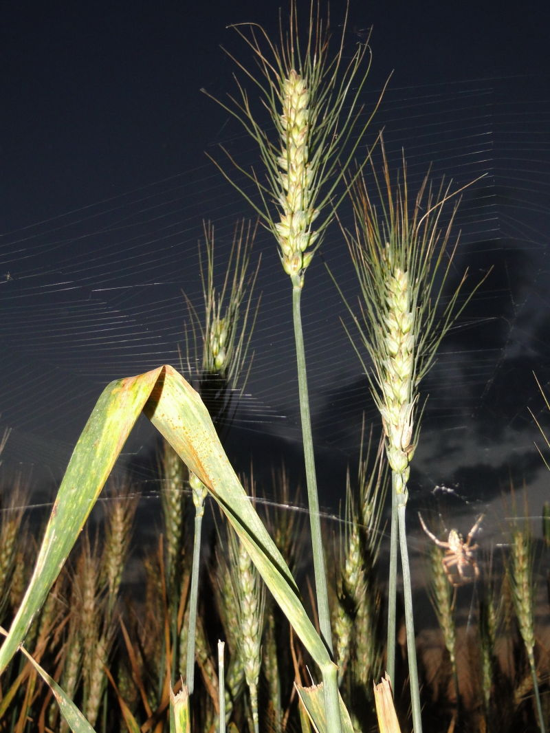 spider and wheat friendship!
