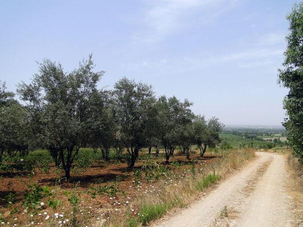 olive garden,golestan,Iran