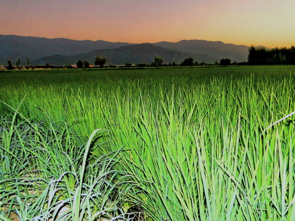 sunset at the rice field,galugah,Mazandaran,Iran