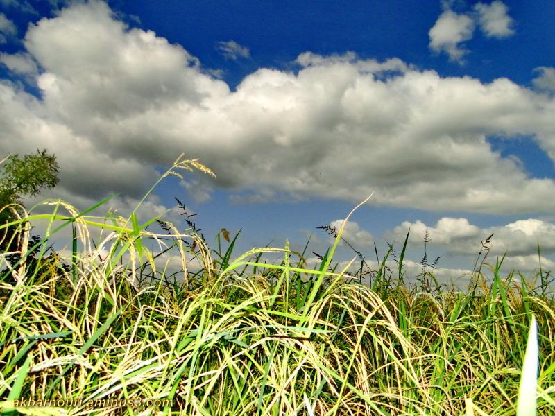 rice field near Gorgan,Iran