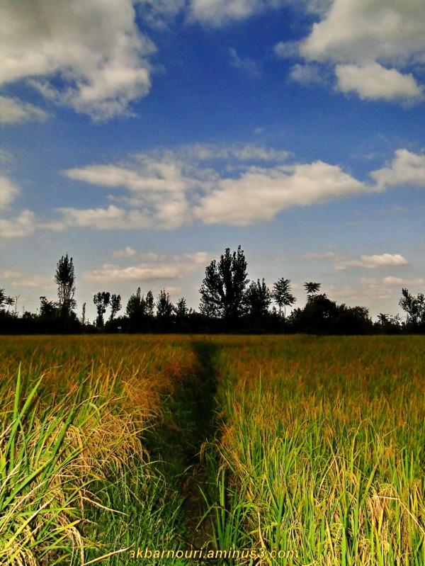 rice field near before harvest