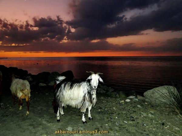 a goat on the beach!