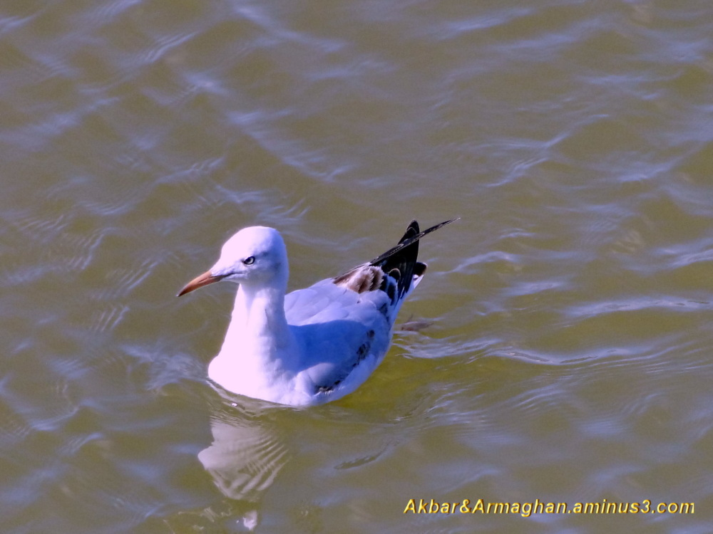 seagull relaxing