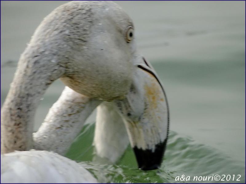 beautiful eyes of flamingo