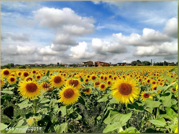 sea of sunflowers