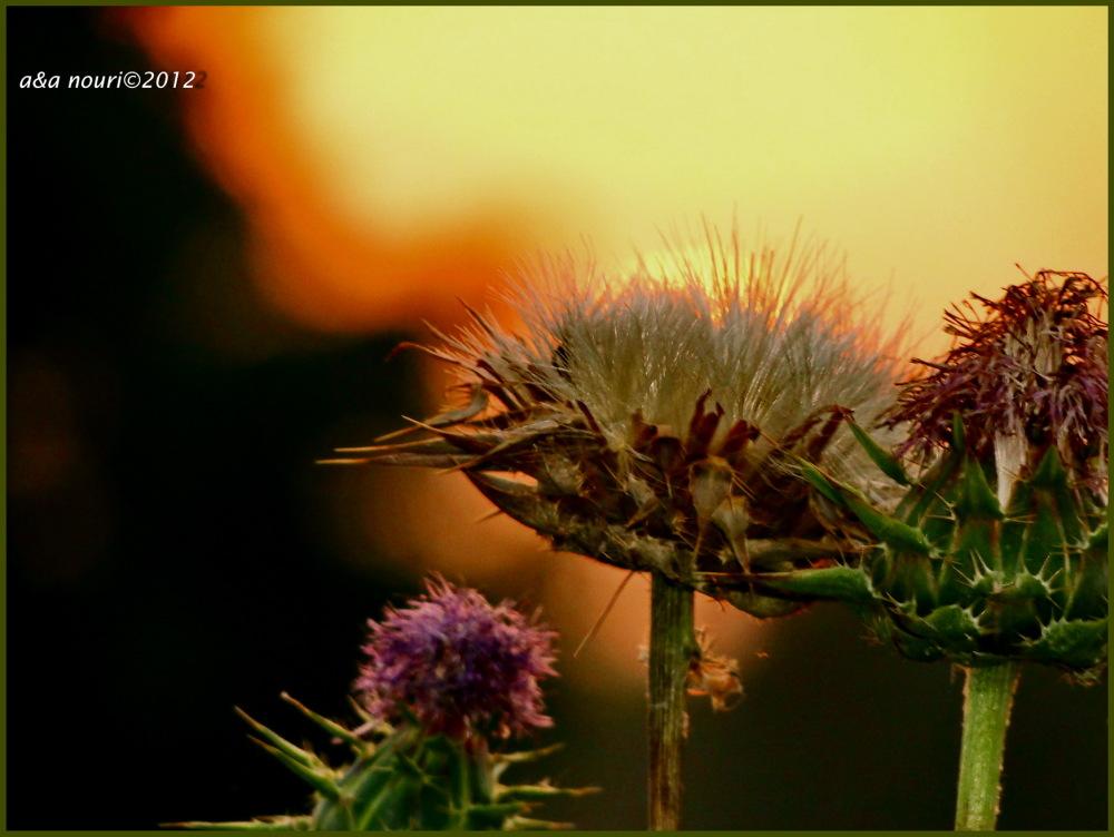 sun in dandelion!