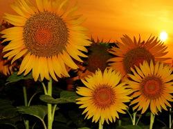 sun&sunflower story