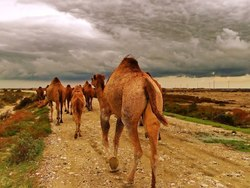 Stepping with camels