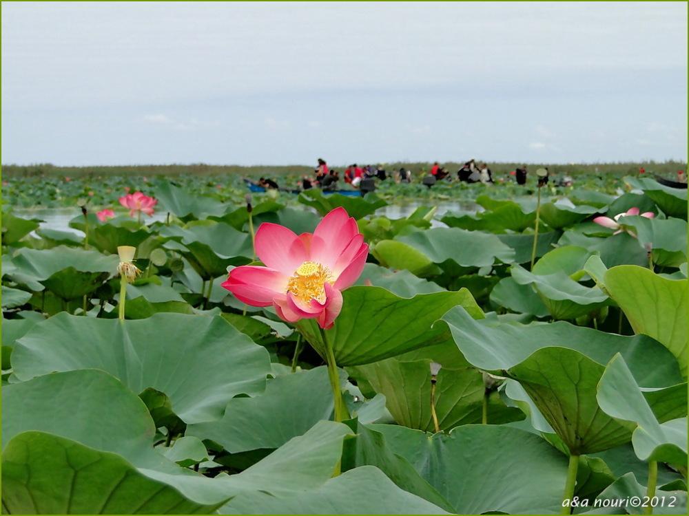 Water lily flower in Anzali lagoon