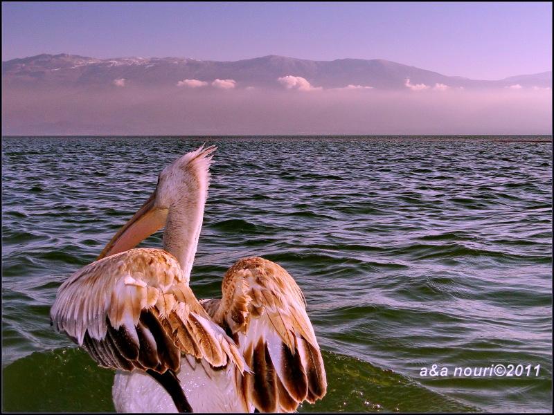 Snoozing pelican :)