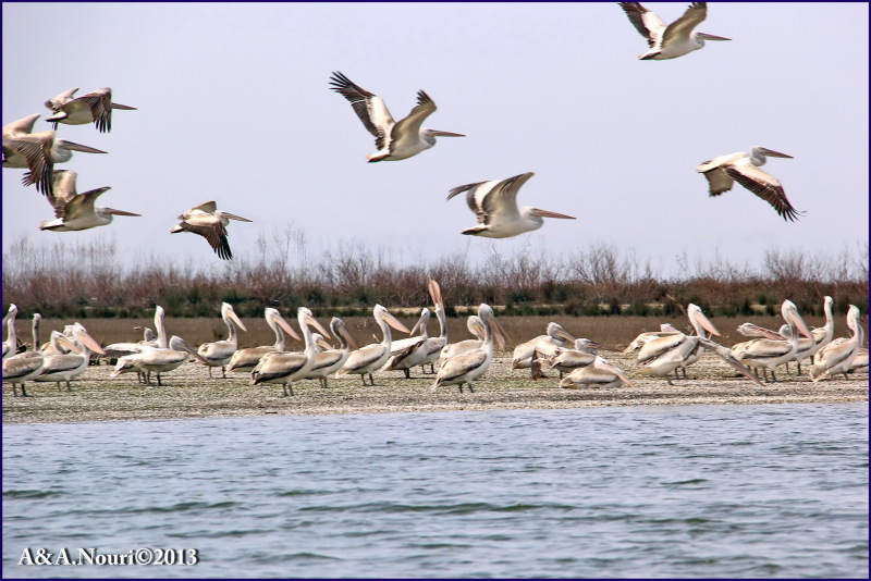 Pelicans assembly