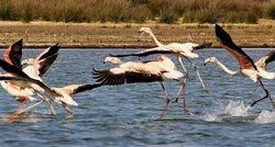 Flamingos' life story-9