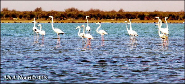 Flamingos' life story-5