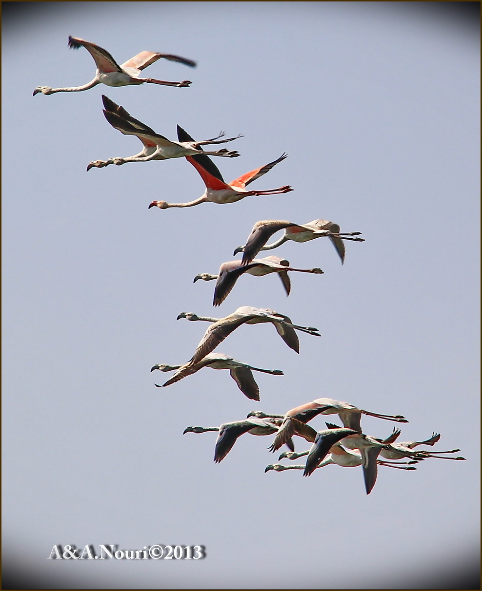 Flamingos' life story-12