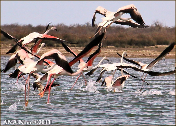 Flamingos' life story-13