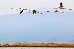 Flamingos' life story-17