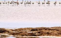 Flamingos' life story-22