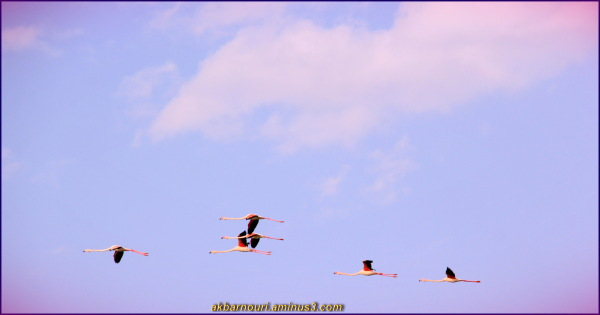 Flamingos' life story-26