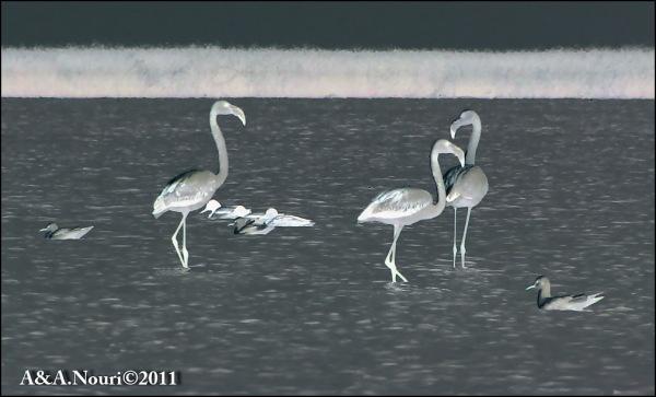 Flamingos' life story-29
