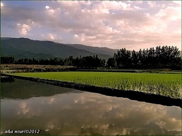a reflection in rice field
