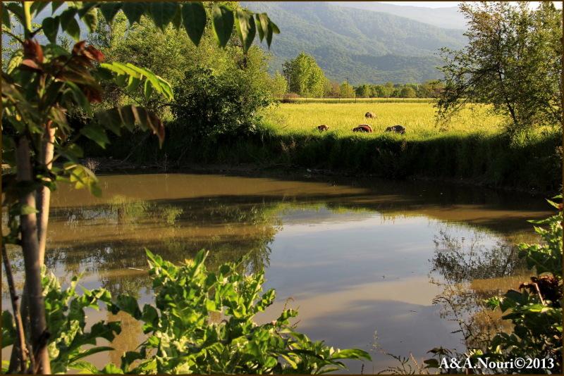 Grazing near the pond