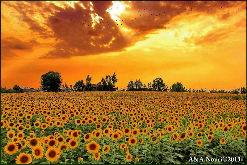 flight over sunflowers garden