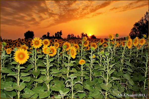 sunset on sunflowers garden