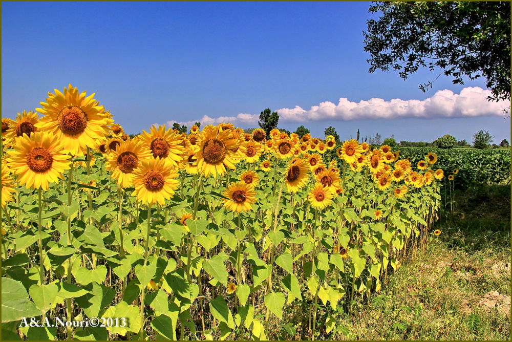 greetings sunflowers