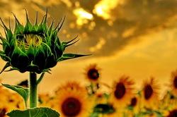 sunflower's beauty