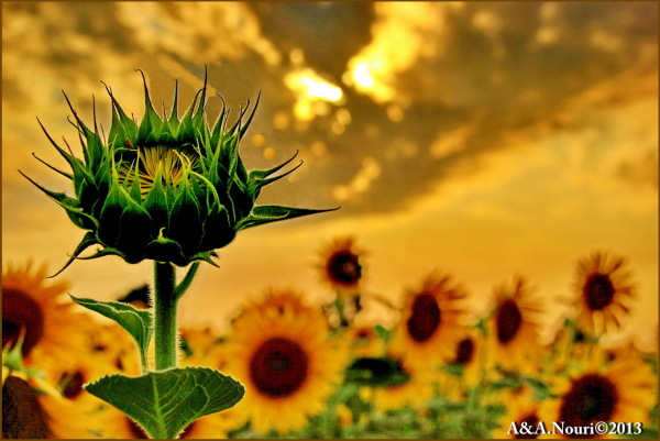 sunflower's beauty