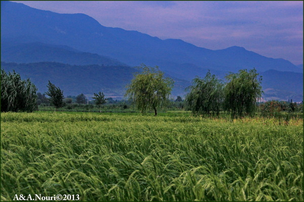 willow in rice field