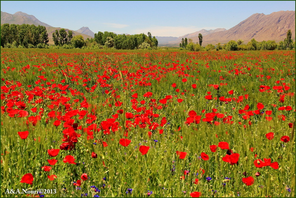 poppies land