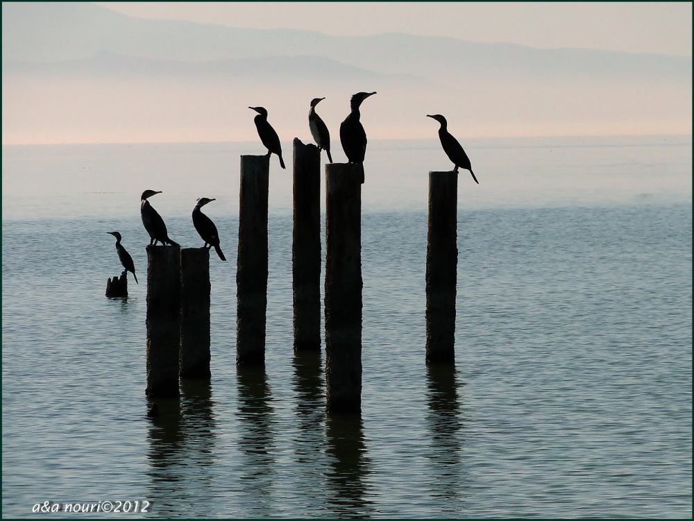 cormorants at rest