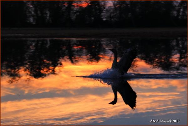 swan's landing