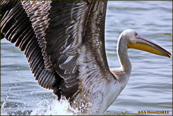 pelican's flight