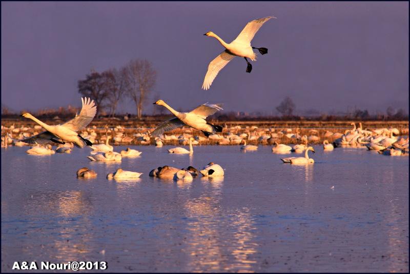 swans flight