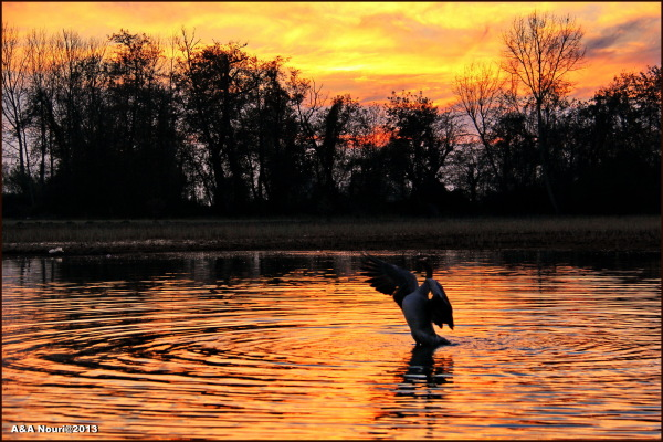 goose,Iran,2013,sunset,lake