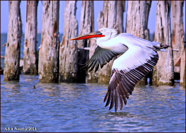 red beak pelican