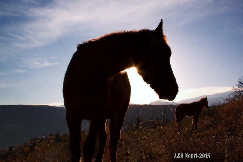morning silhouette of horses