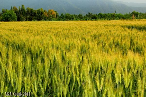 raw wheat field