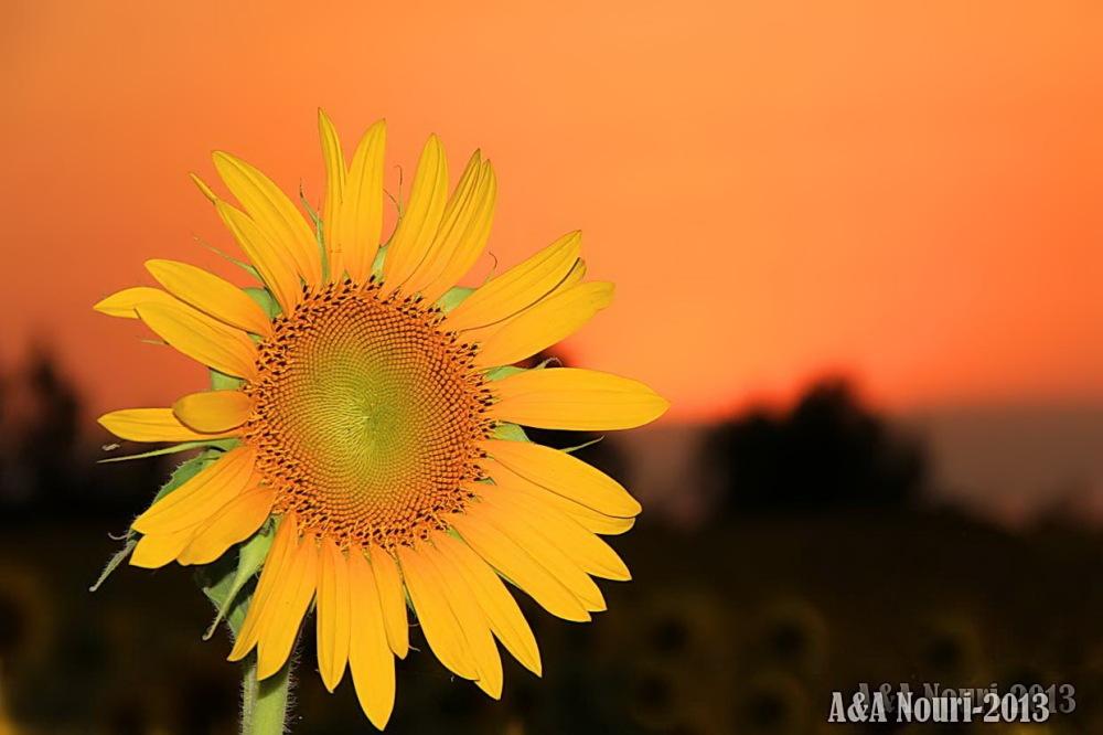 Sunflower in orange