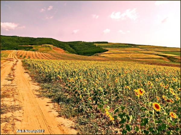 road beside sunflowers