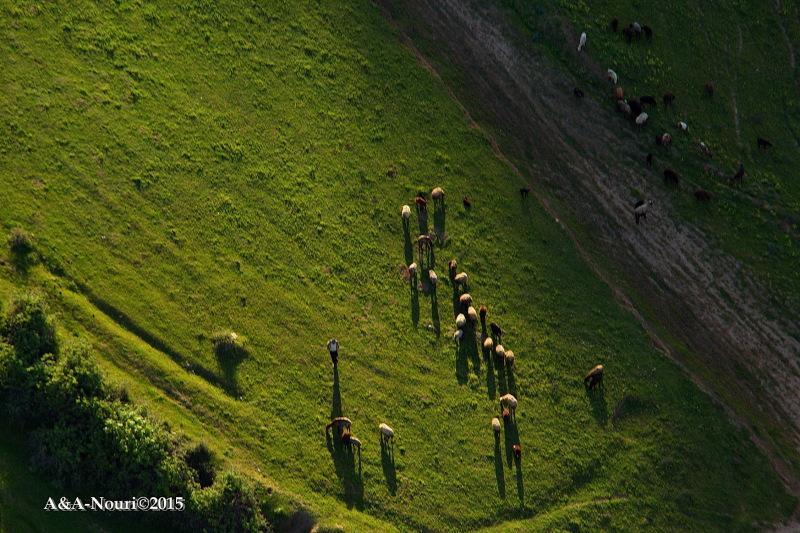 sheep herd shadows