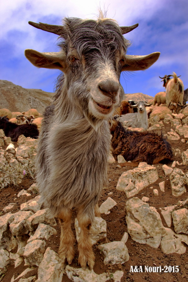 laughing goat :)